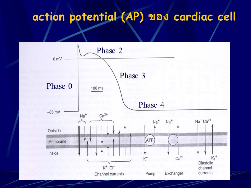 action potential (AP) ของ cardiac cell