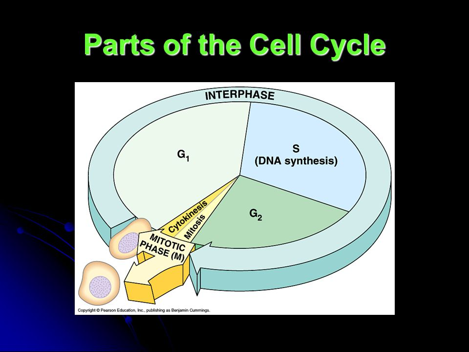 Parts of the Cell Cycle