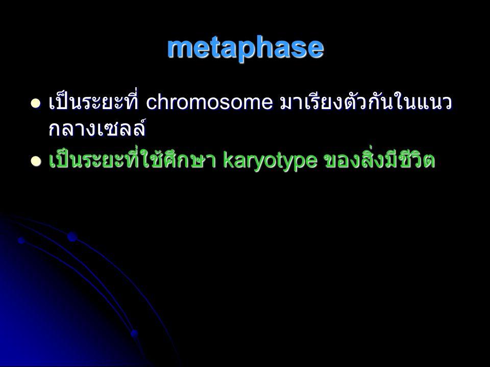 metaphase เป็นระยะที่ chromosome มาเรียงตัวกันในแนวกลางเซลล์