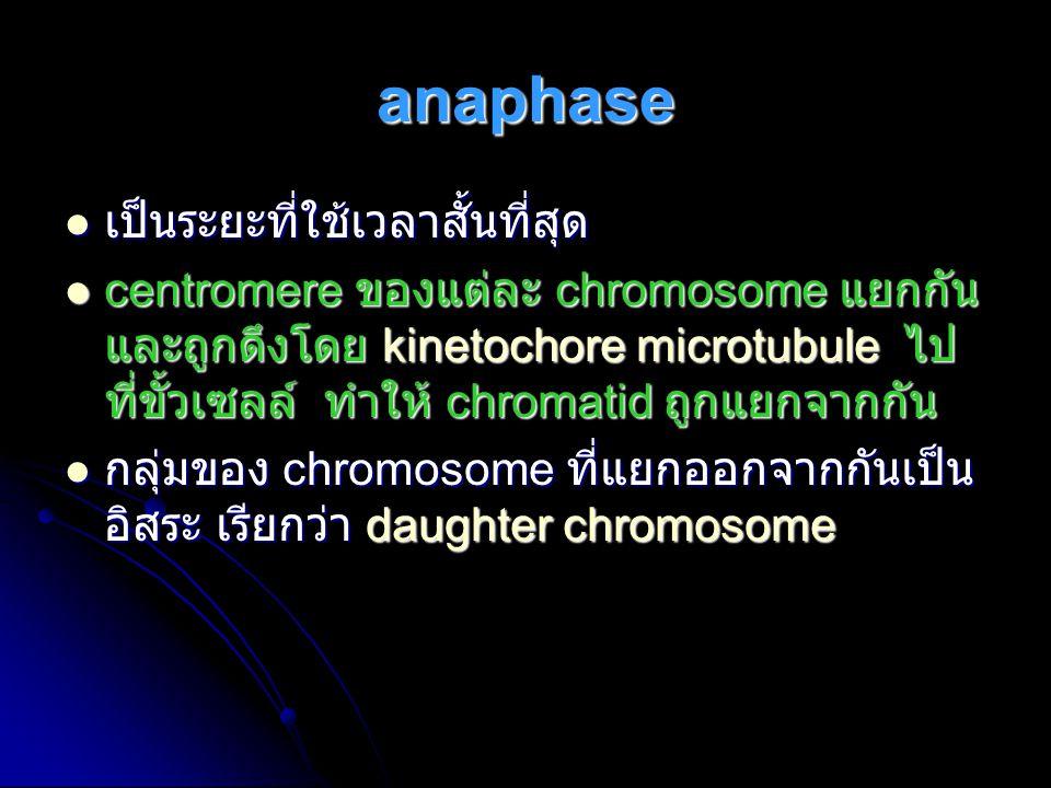 anaphase เป็นระยะที่ใช้เวลาสั้นที่สุด