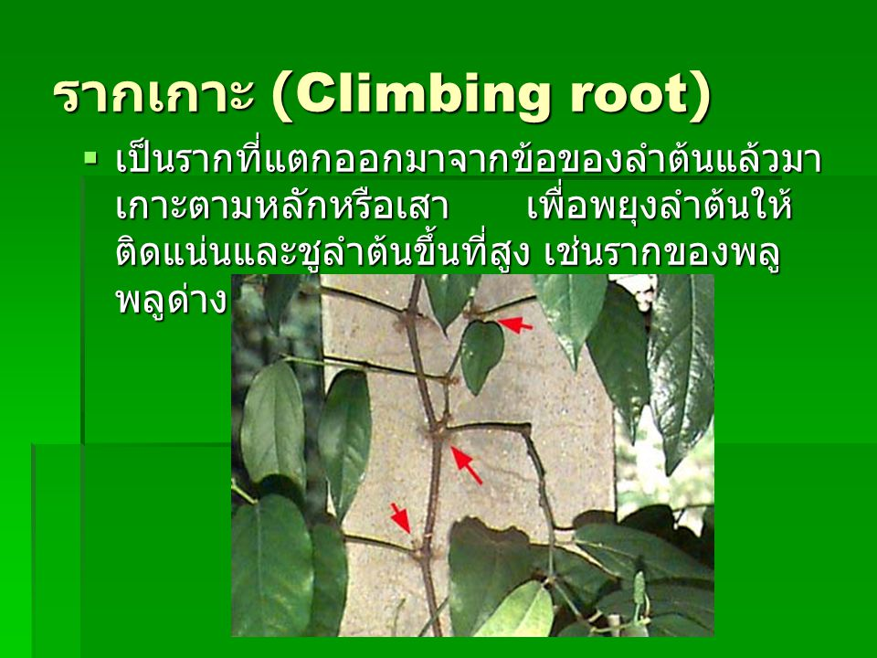 รากเกาะ (Climbing root)