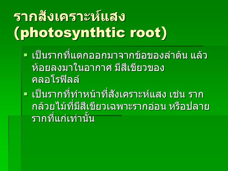 รากสังเคราะห์แสง (photosynthtic root)