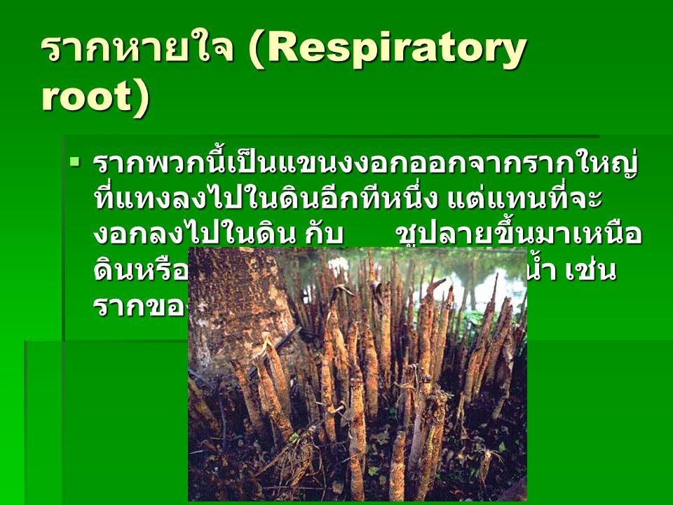 รากหายใจ (Respiratory root)