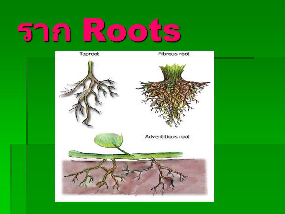 ราก Roots