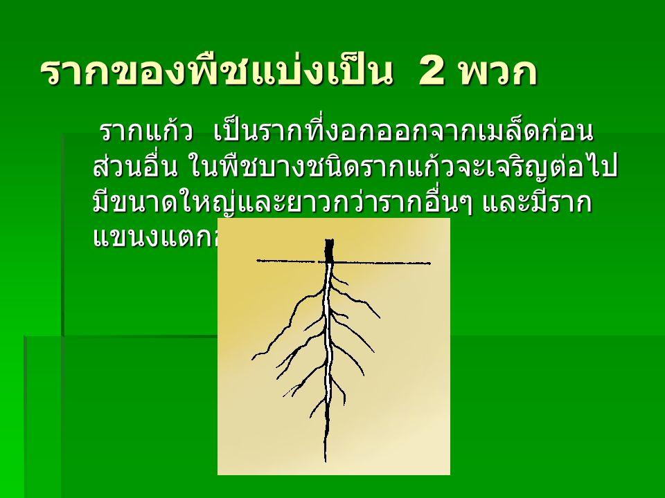 รากของพืชแบ่งเป็น 2 พวก