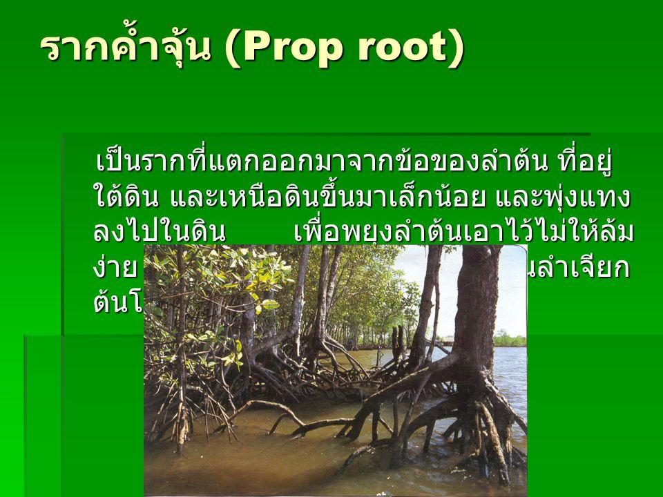 รากค้ำจุ้น (Prop root)