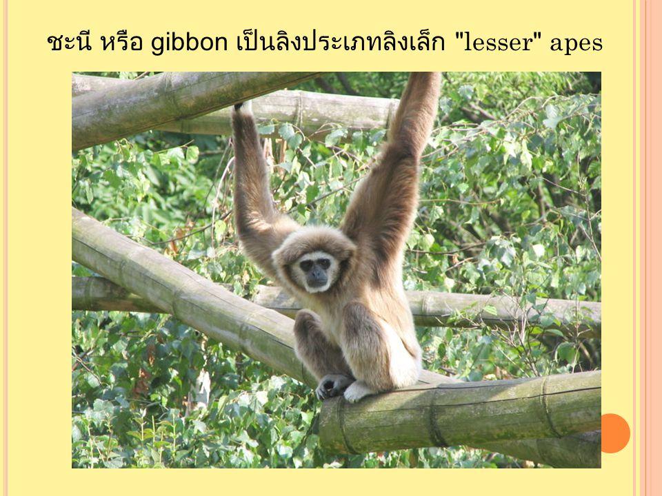 ชะนี หรือ gibbon เป็นลิงประเภทลิงเล็ก lesser apes