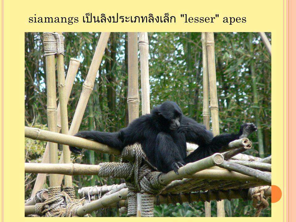 siamangs เป็นลิงประเภทลิงเล็ก lesser apes