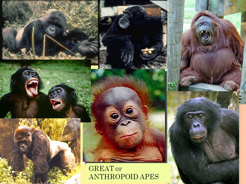 GREAT or ANTHROPOID APES