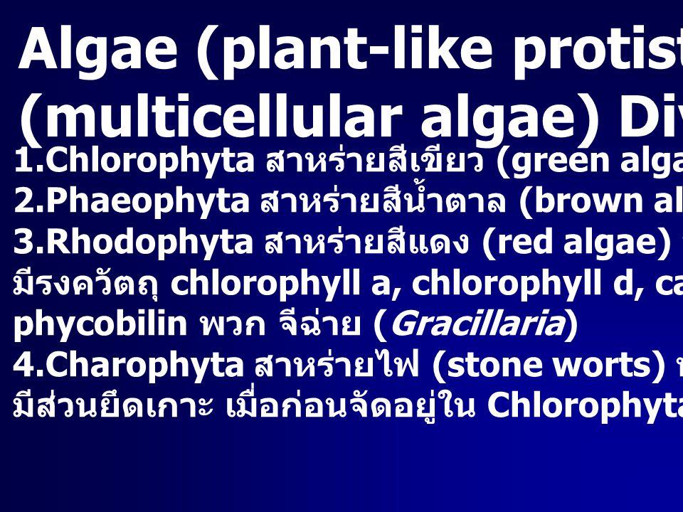 Algae (plant-like protist) สาหร่ายหลายเซลล์