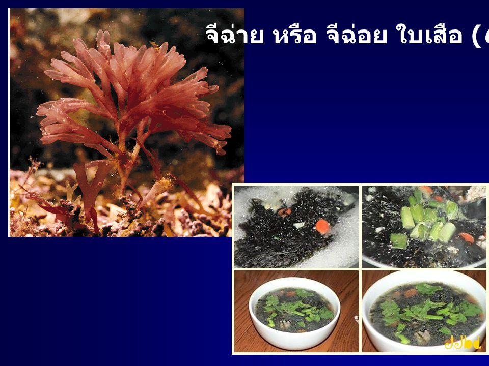 จีฉ่าย หรือ จีฉ่อย ใบเสือ (Gracillaria)