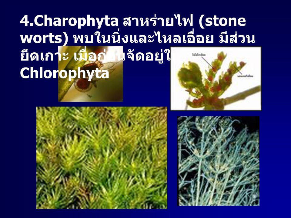 4.Charophyta สาหร่ายไฟ (stone worts) พบในนิ่งและไหลเอื่อย มีส่วนยึดเกาะ เมื่อก่อนจัดอยู่ใน Chlorophyta