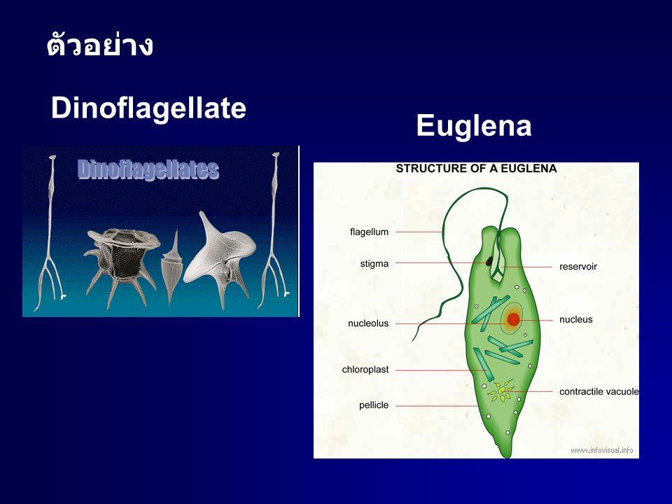 ตัวอย่าง Dinoflagellate Euglena