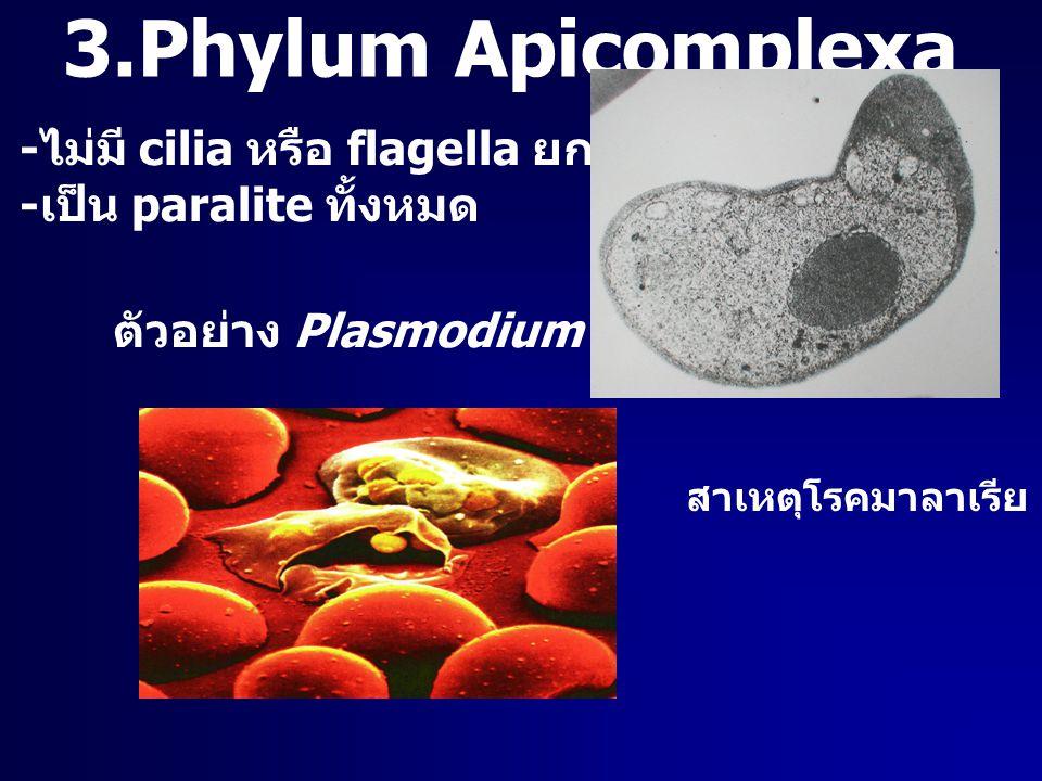 3.Phylum Apicomplexa -ไม่มี cilia หรือ flagella ยกเว้นช่วงวืบพันธุ์