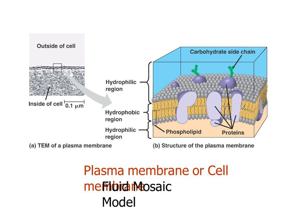 Plasma membrane or Cell membrane