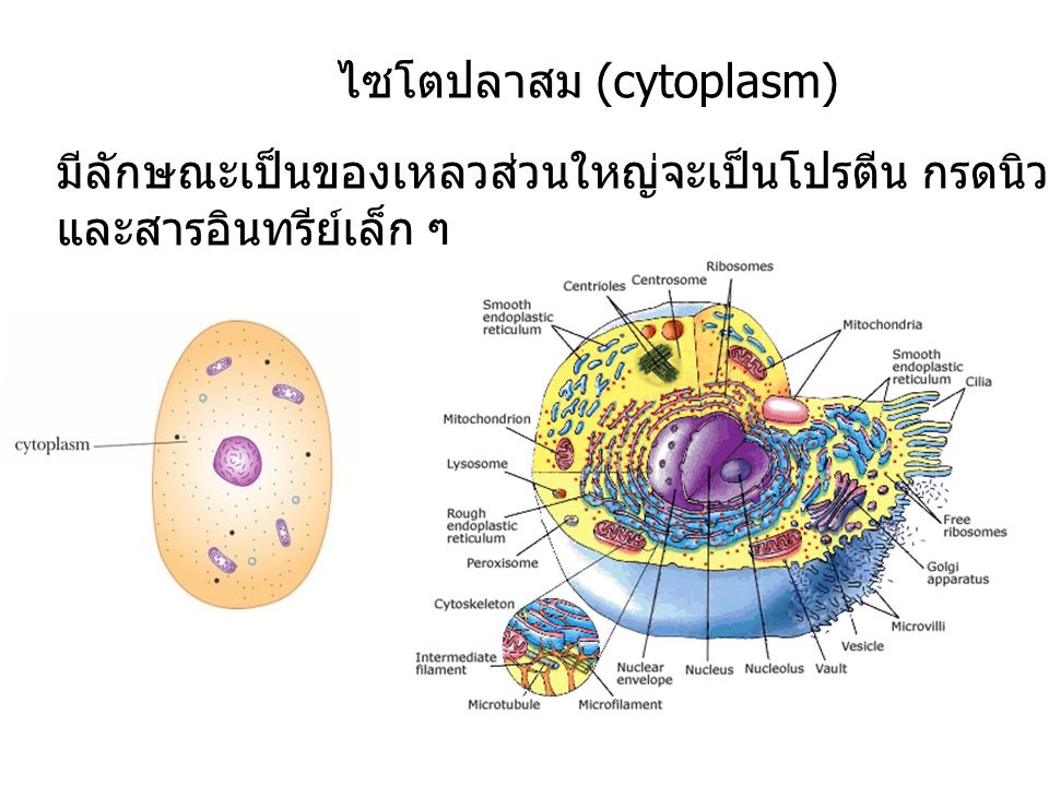 ไซโตปลาสม (cytoplasm)