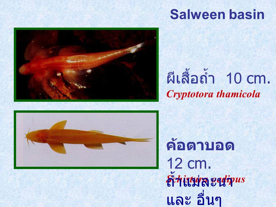 ผีเสื้อถ้ำ 10 cm. ค้อตาบอด 12 cm. ถ้ำแม่ละนา และ อื่นๆ Salween basin