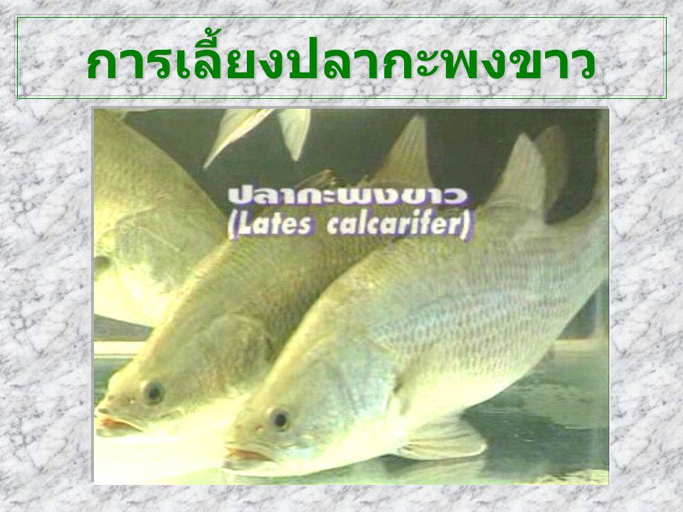 การเลี้ยงปลากะพงขาว