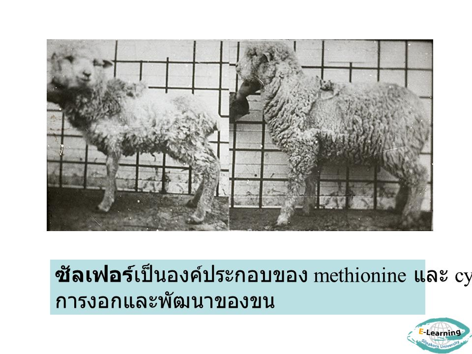 ซัลเฟอร์เป็นองค์ประกอบของ methionine และ cystine มีผลต่อ