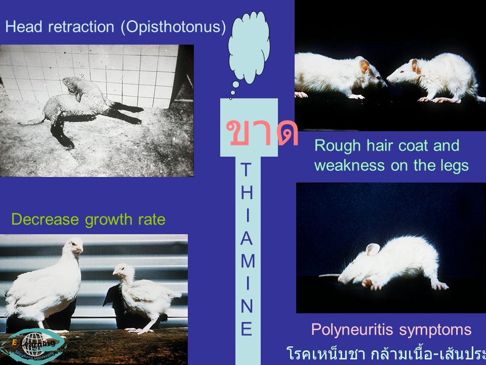ขาด T H I A M N E Head retraction (Opisthotonus) Rough hair coat and