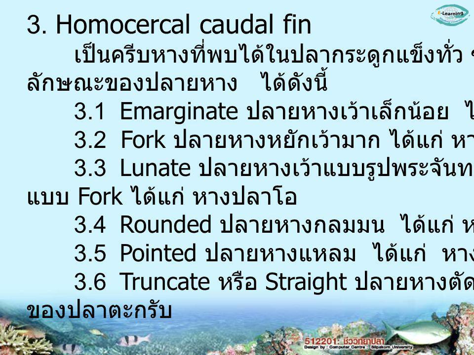 3. Homocercal caudal fin เป็นครีบหางที่พบได้ในปลากระดูกแข็งทั่ว ๆ ไป แบ่งตาม. ลักษณะของปลายหาง ได้ดังนี้