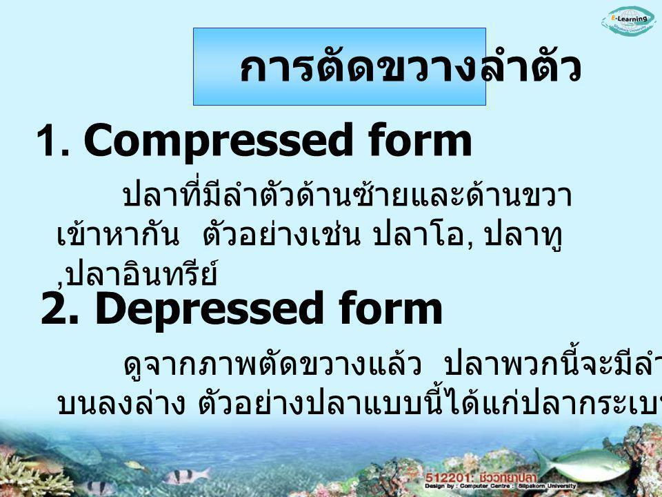 การตัดขวางลำตัว 1. Compressed form 2. Depressed form