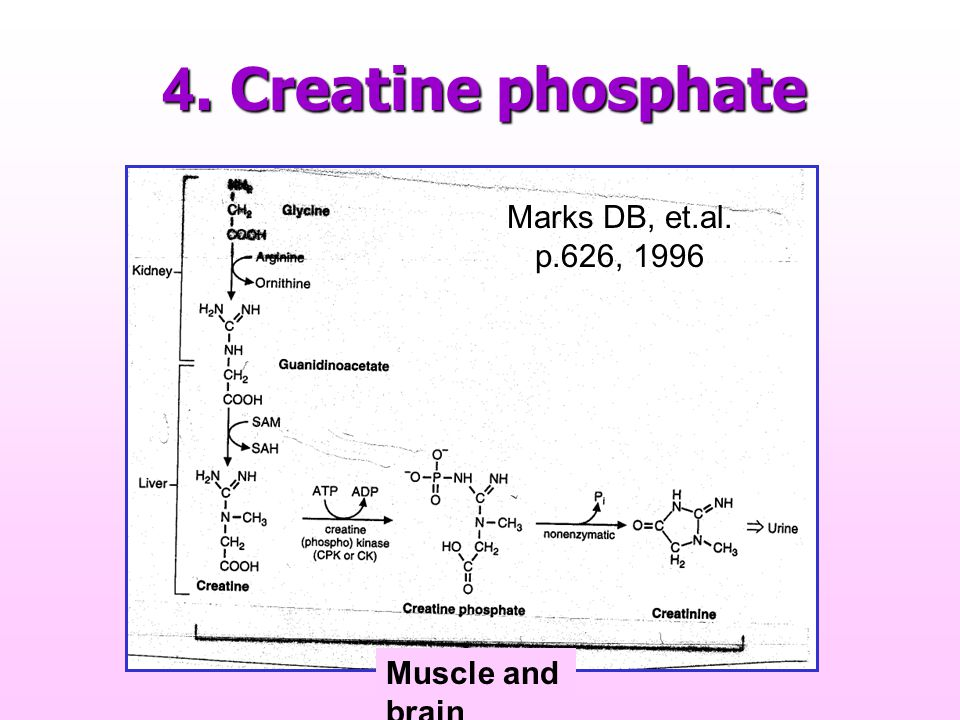 4. Creatine phosphate Marks DB, et.al. p.626, 1996 Muscle and brain