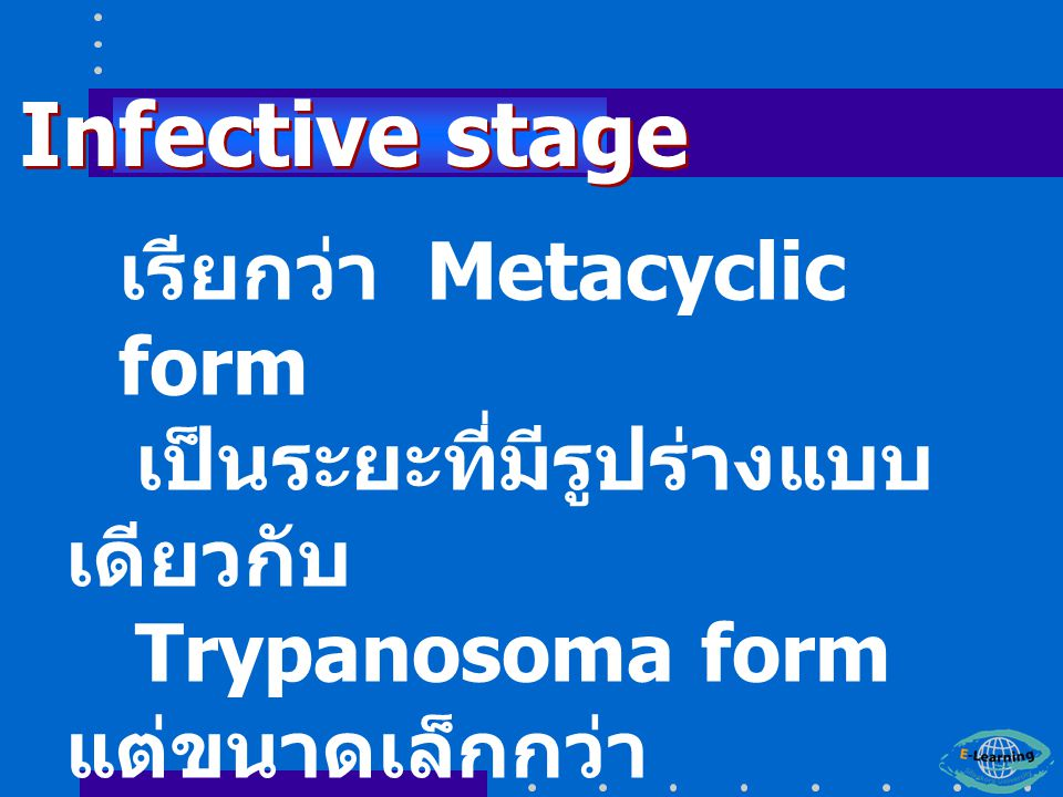 Infective stage เรียกว่า Metacyclic form