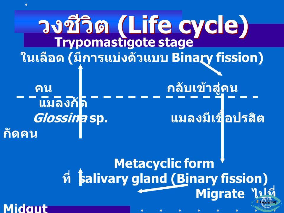 ในเลือด (มีการแบ่งตัวแบบ Binary fission)
