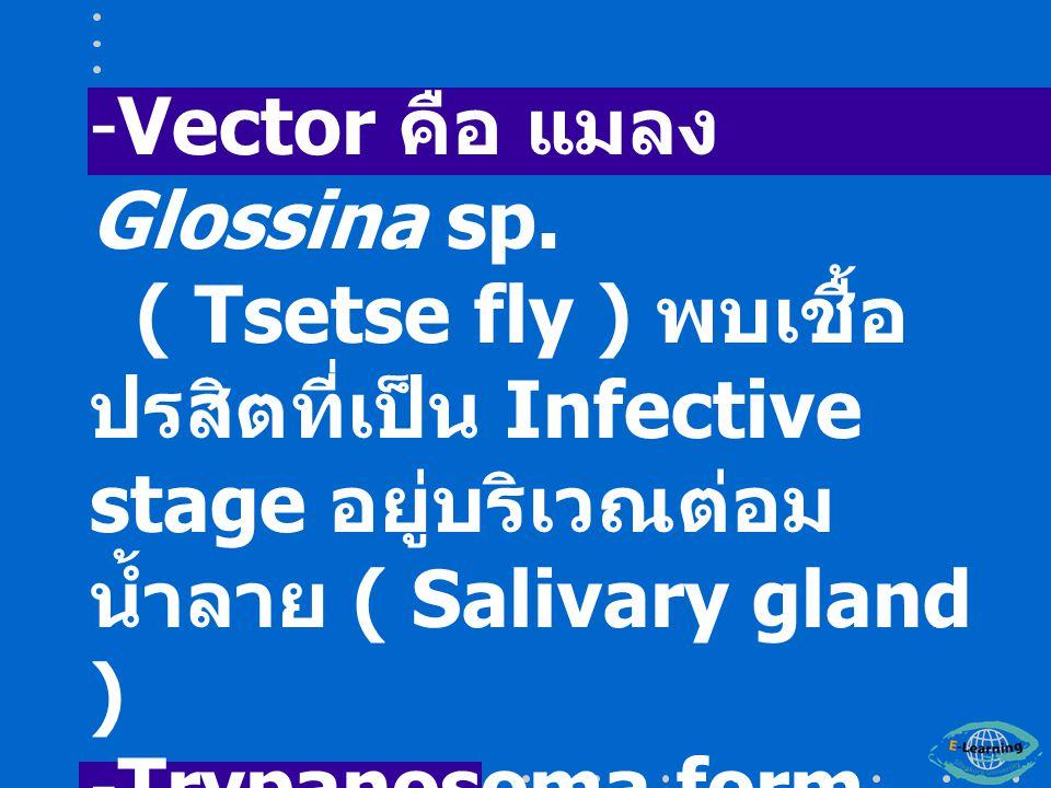 Vector คือ แมลง Glossina sp.