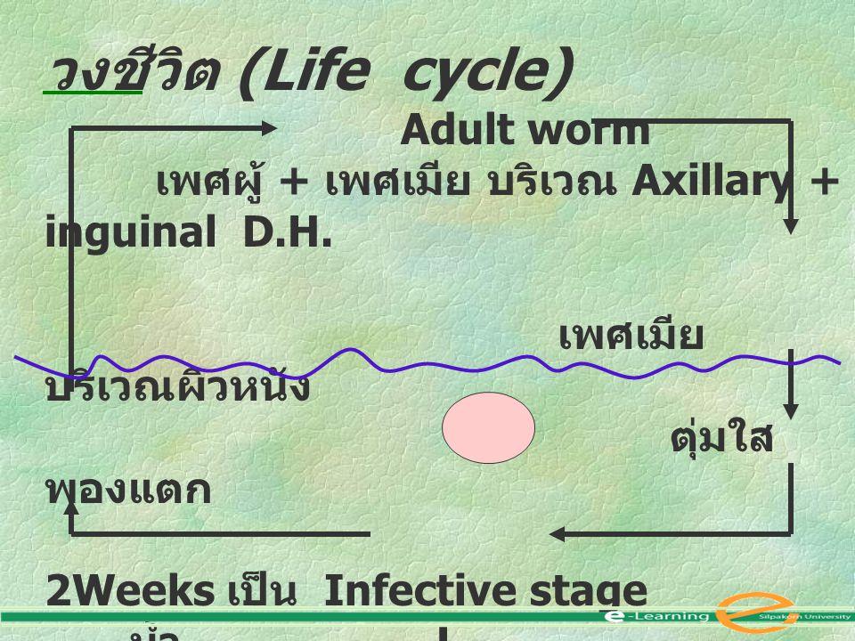วงชีวิต (Life cycle) Adult worm