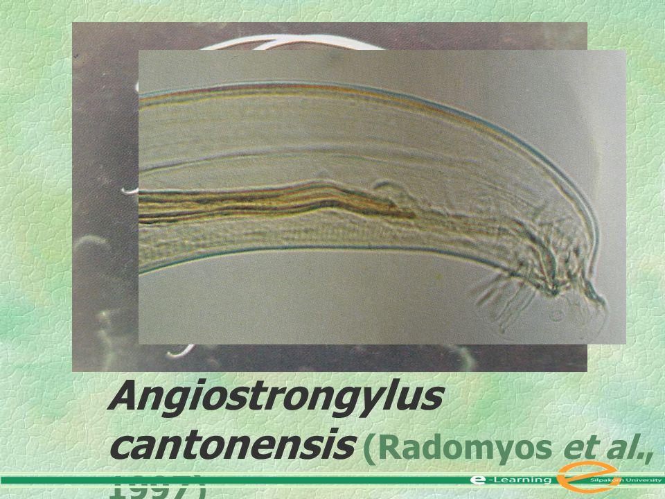 Angiostrongylus cantonensis (Radomyos et al., 1997)