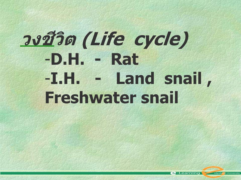 วงชีวิต (Life cycle) D.H. - Rat I.H. - Land snail , Freshwater snail
