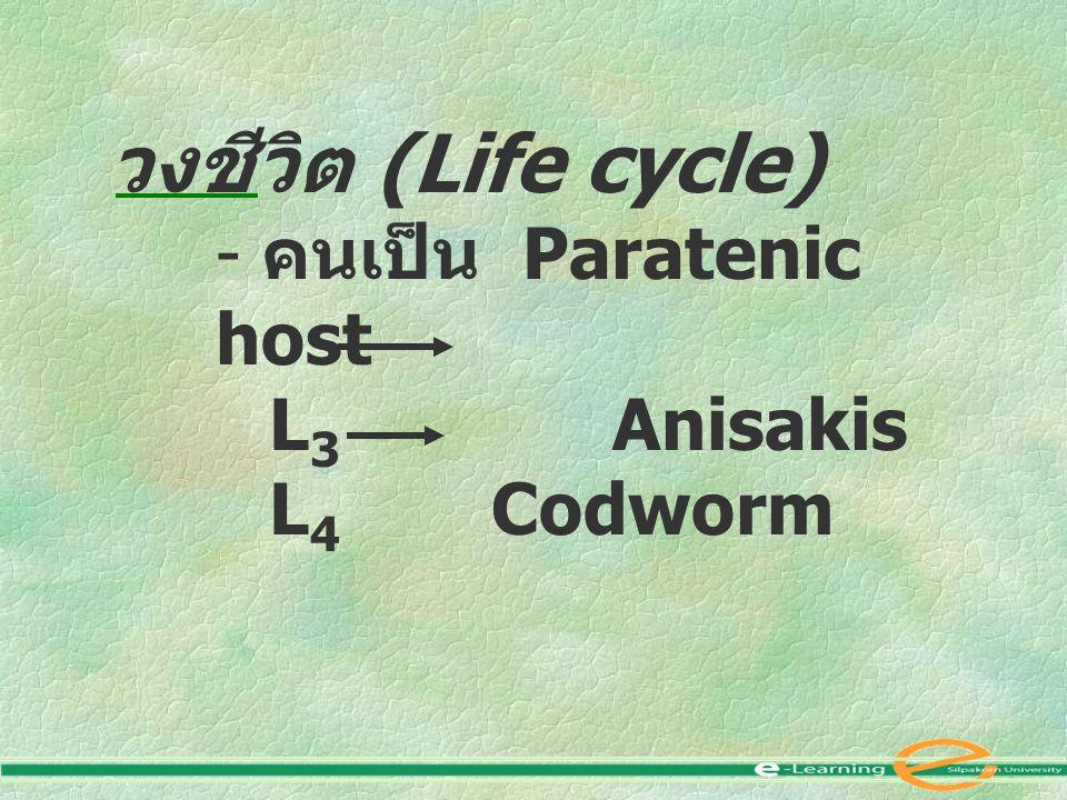 วงชีวิต (Life cycle) คนเป็น Paratenic host L3 Anisakis L4 Codworm
