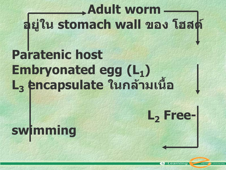 อยู่ใน stomach wall ของ โฮสต์