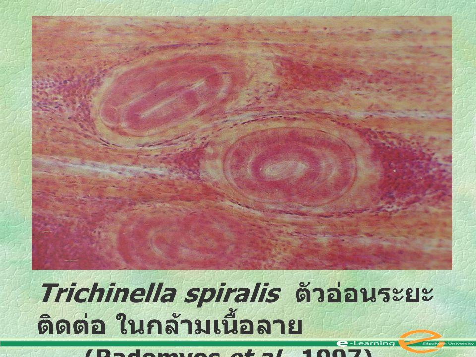 Trichinella spiralis ตัวอ่อนระยะติดต่อ ในกล้ามเนื้อลาย (Radomyos et al., 1997)