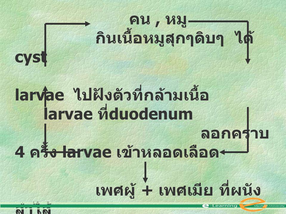 คน , หมู กินเนื้อหมูสุกๆดิบๆ ได้ cyst. larvae ไปฝังตัวที่กล้ามเนื้อ larvae ที่duodenum. ลอกคราบ 4 ครั้ง larvae เข้าหลอดเลือด.