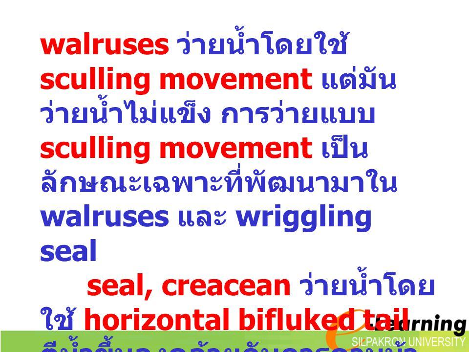 walruses ว่ายน้ำโดยใช้ sculling movement แต่มันว่ายน้ำไม่แข็ง การว่ายแบบ sculling movement เป็นลักษณะเฉพาะที่พัฒนามาใน walruses และ wriggling seal
