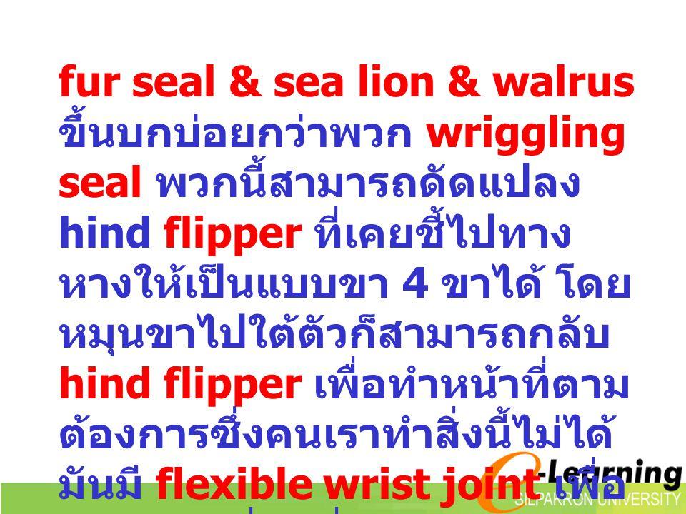fur seal & sea lion & walrus ขึ้นบกบ่อยกว่าพวก wriggling seal พวกนี้สามารถดัดแปลง hind flipper ที่เคยชี้ไปทางหางให้เป็นแบบขา 4 ขาได้ โดยหมุนขาไปใต้ตัวก็สามารถกลับ hind flipper เพื่อทำหน้าที่ตามต้องการซึ่งคนเราทำสิ่งนี้ไม่ได้ มันมี flexible wrist joint เพื่อปรับให้เคลื่อนที่บนบกได้