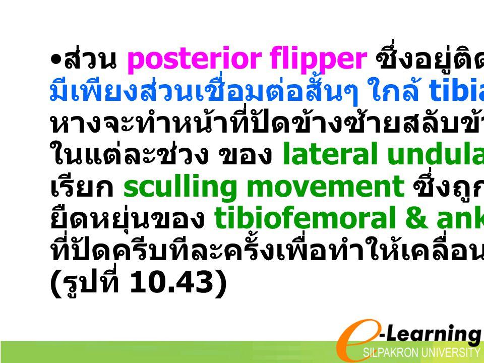 ส่วน posterior flipper ซึ่งอยู่ติดกับลำตัวมาก