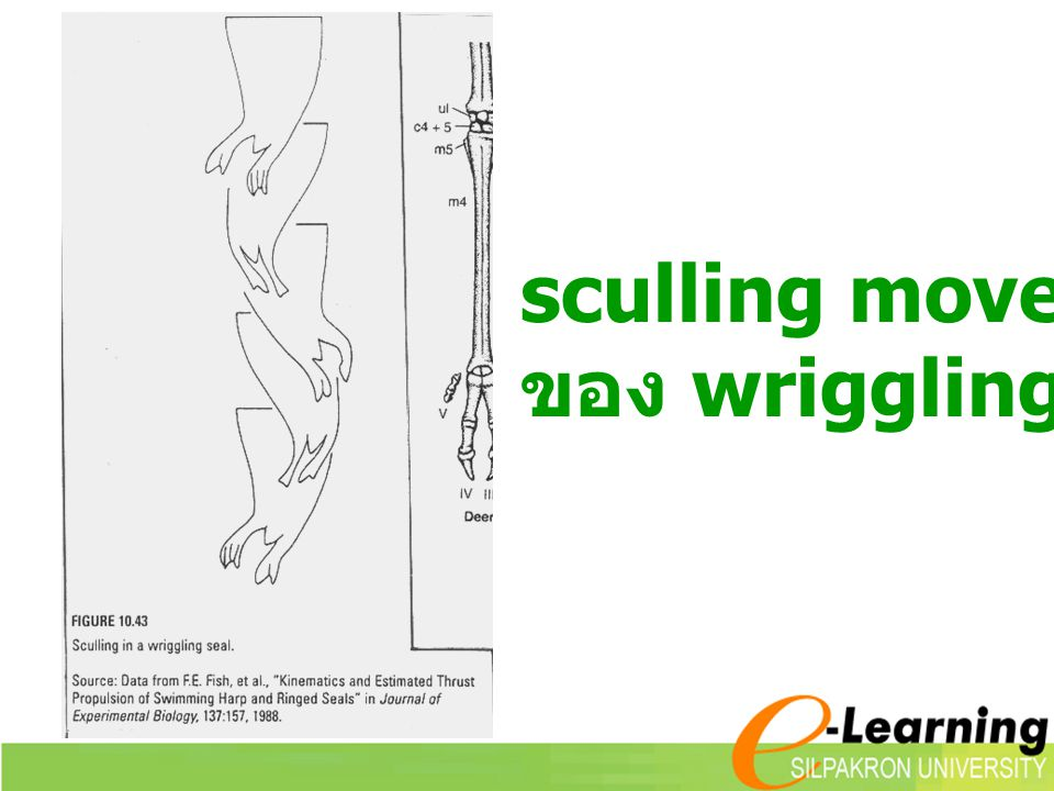 sculling movement ของ wriggling seal