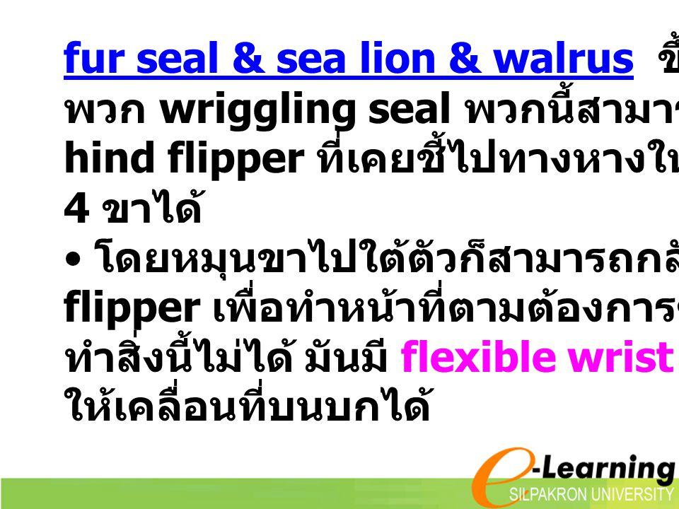 fur seal & sea lion & walrus ขึ้นบกบ่อยกว่า