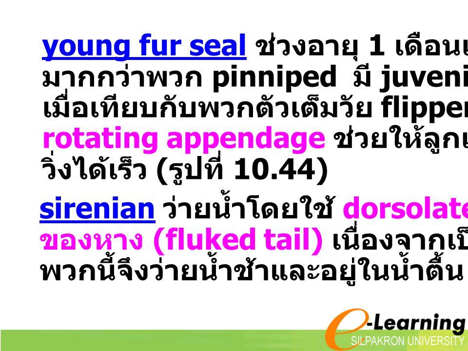 young fur seal ช่วงอายุ 1 เดือนแรกจะอยู่บนบก