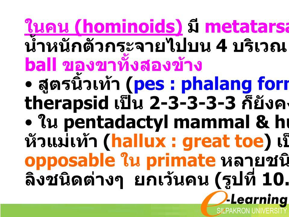 ในคน (hominoids) มี metatarsal arch ทำให้