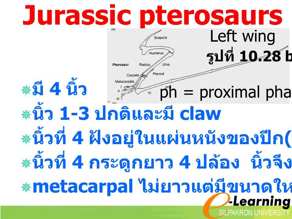 Jurassic pterosaurs มี 4 นิ้ว นิ้ว 1-3 ปกติและมี claw