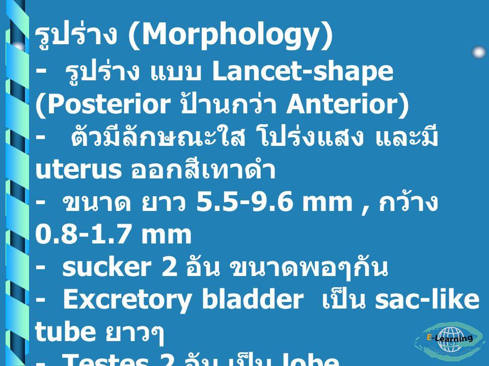 - รูปร่าง แบบ Lancet-shape (Posterior ป้านกว่า Anterior)