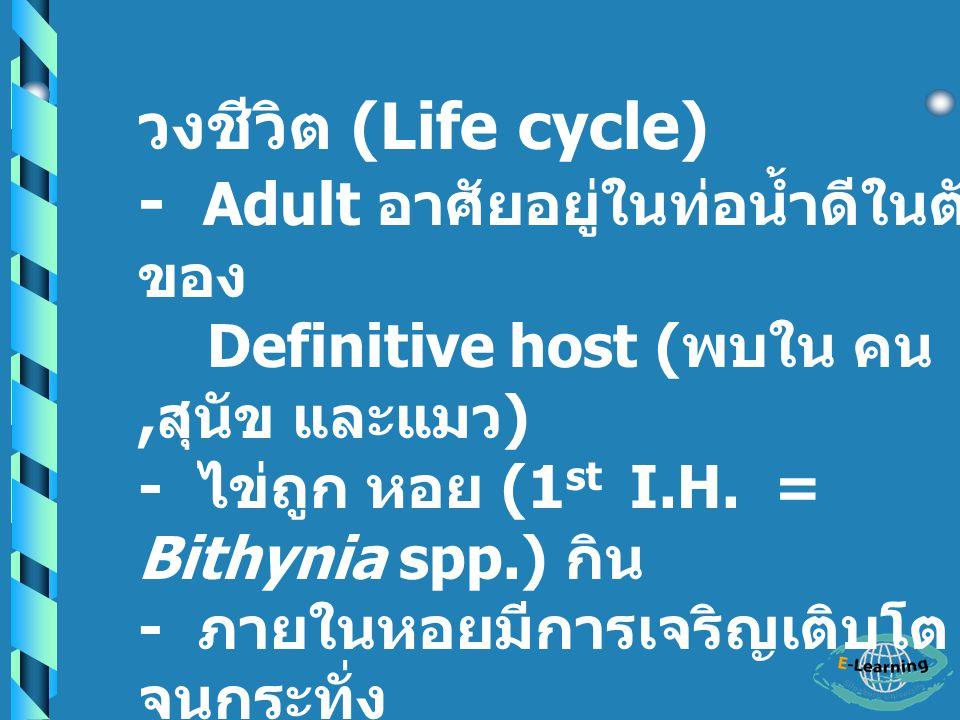- Adult อาศัยอยู่ในท่อน้ำดีในตับ ของ