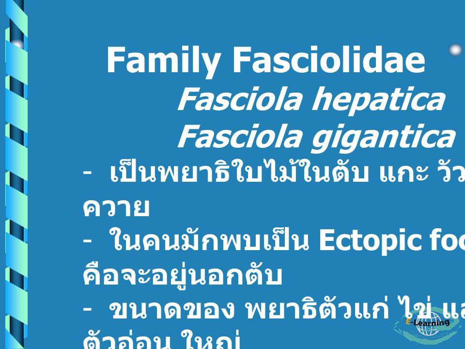 Family Fasciolidae Fasciola gigantica เป็นพยาธิใบไม้ในตับ แกะ วัว ควาย