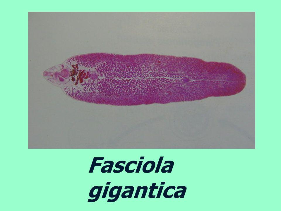 Fasciola gigantica