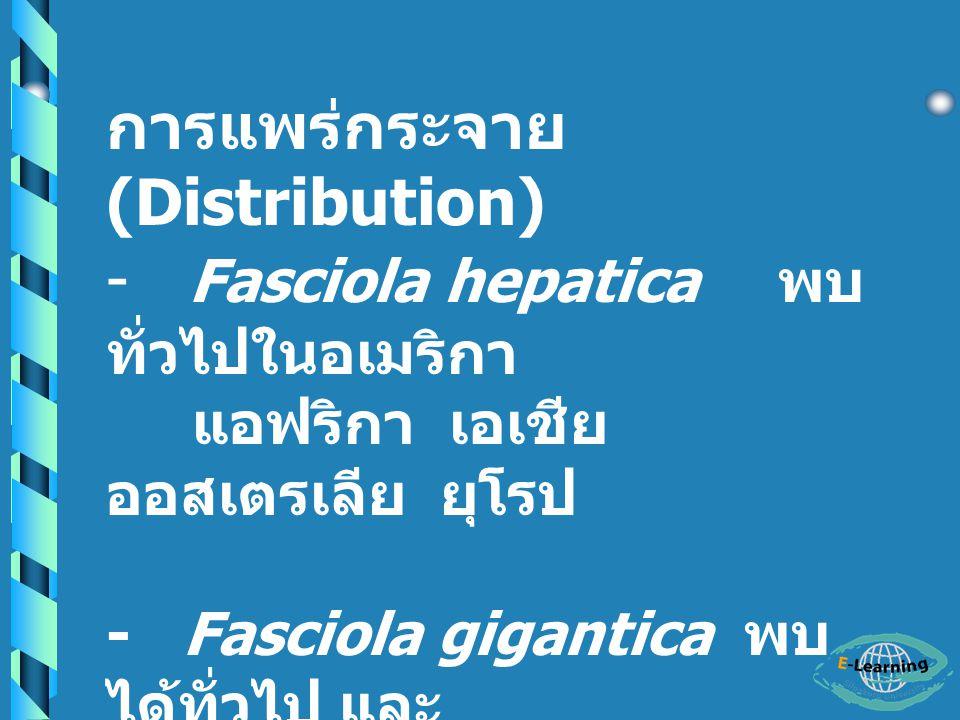 การแพร่กระจาย (Distribution) - Fasciola hepatica พบทั่วไปในอเมริกา